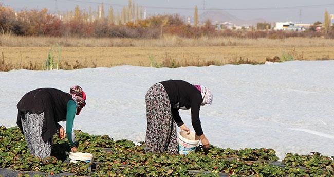 Seydişehir'de yayla çileğinin son hasadına başlandı