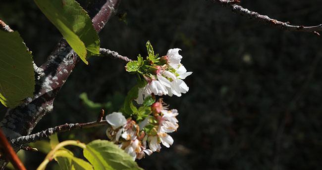 Konya! Kiraz ağaçları çiçek açtı…