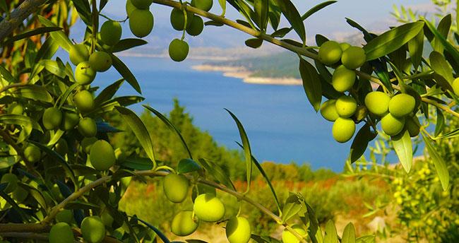 Ermenek'te zeytin, yöre halkının umudu oldu