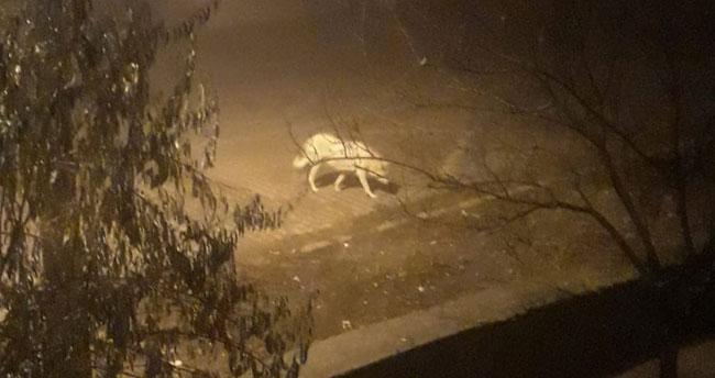 Cep telefonu ile görüntülendi! Konya'da aç kalan kurt ilçe merkezine indi