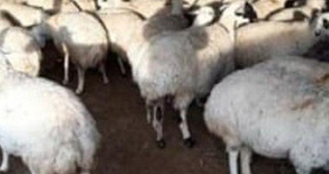Konya'da hayvan hırsızlığı! Ereğli'de ağıldan 31 koyun çalındı