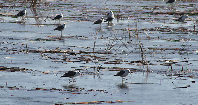 Konya'da soğuk havalar su kuşlarını ve balıkçılıkları olumsuz etkiledi