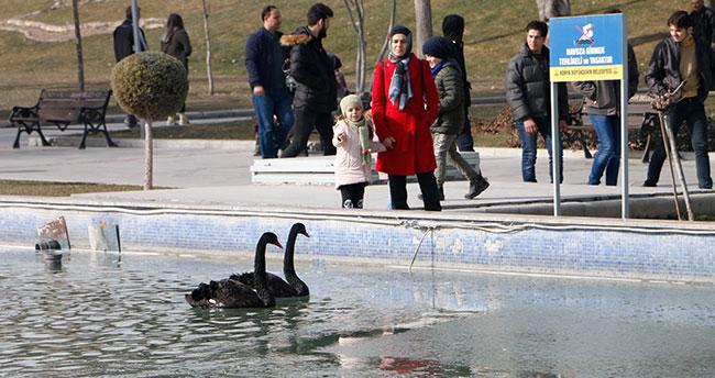 Konya'da buz tutan havuzda kuğuların yürüme mücadelesi renkli görüntüler oluşturdu