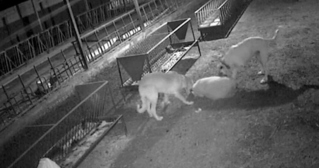 Konya'da dehşet anları! Ağıla giren 2 köpek 30 koyunu telef etti