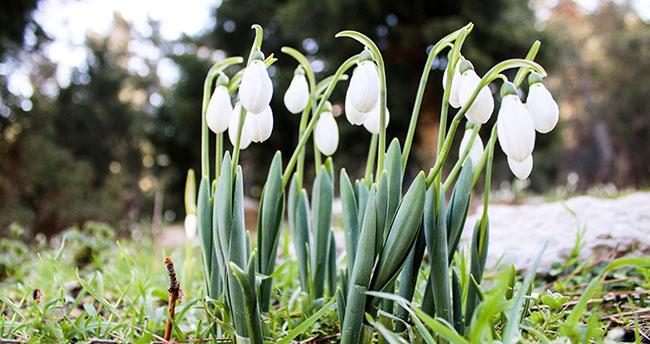 Konya'da eşsiz görüntü! Toroslar'da baharın müjdesi kardelenler çiçek açtı