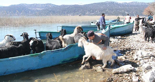 Konya'da keçilerin göl üzerinde balıkçı tekneleriyle dönüş yolculuğu