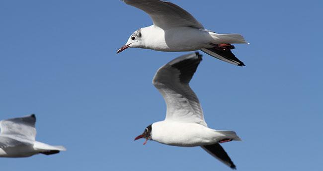 """Beyşehir Gölü'nde kuşların """"ekmek"""" kavgası"""