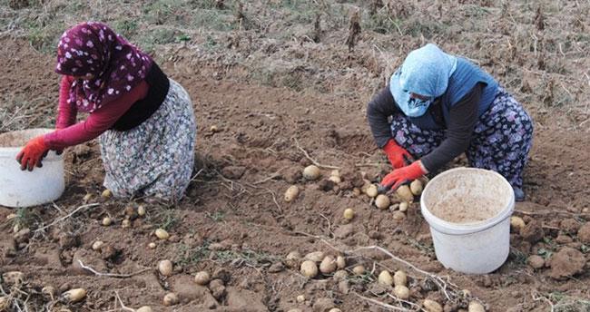 Konya patates üretiminde 2'nci sırada