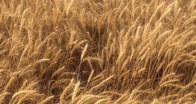 Konya, ekmeklik buğday üretiminde lider