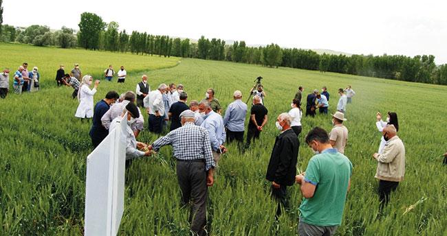 Konya'da yetiştirilen milli ve yerli buğday tohumu çeşidi çiftçiyle buluştu
