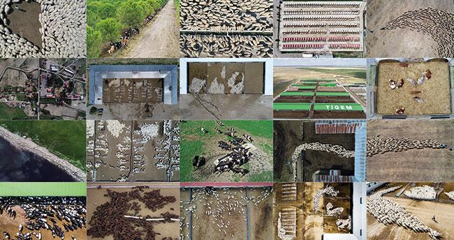 Türkiye'nin hayvancılık üssü: TİGEM! Konya'daki 3 işletmede sığırcılık ve koyunculuk faaliyeti yürütülüyor