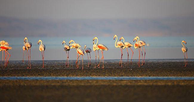 Fransa'da 30 yıl önce halkalanan flamingonun son durağı Tuz Gölü oldu