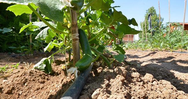 Meram Hobi Bahçeleri'nde ürünler toplanmaya başladı