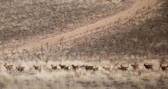 Konya'da yetiştirilen 55 Anadolu yaban koyunu daha doğayla buluştu