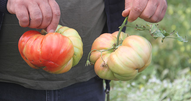 Beyşehirli çiftçi, hobi bahçesinde 1 kilograma ulaşan Osmanlı domatesi yetiştirdi