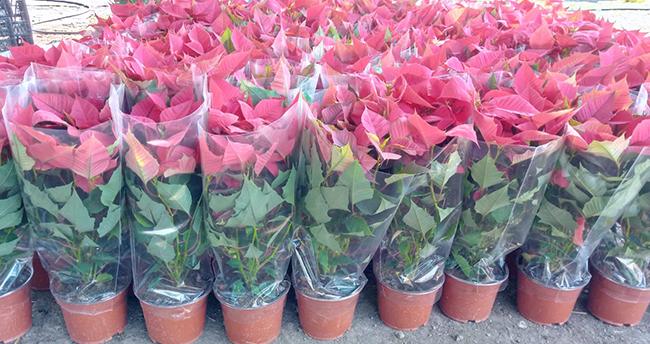 Çiçek siparişlerine koronavirüs etkisi! Koronavirüs salgını çiçek satışlarını artırdı