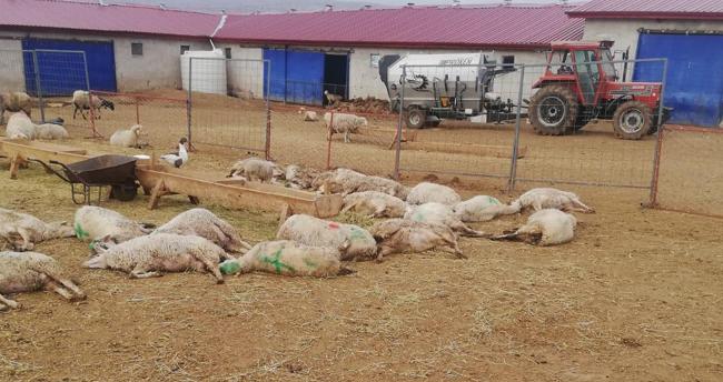 Sahibi sabah ahıra girince hayatının şokunu yaşadı! Konya'da 300 koyun telef oldu