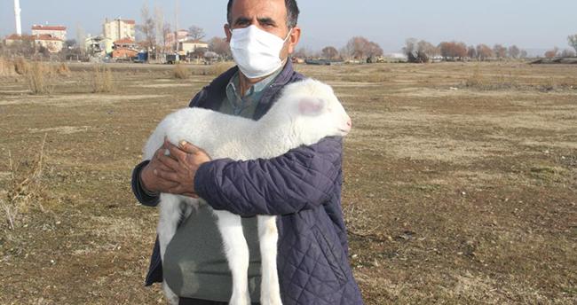 Konya'da kış kuzuları yavrulamaya başladı