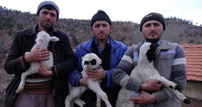Konya'da 124 koyun çalınınca, kuzuları biberonla beslemeye başlamışlardı! 99 tanesi bulundu