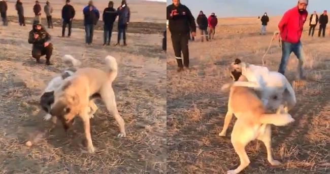 Konya'da köpekleri dövüştürerek birbirine parçalatan cani yakalandı! 39 bin 931 lira ödeyip kurtuldular