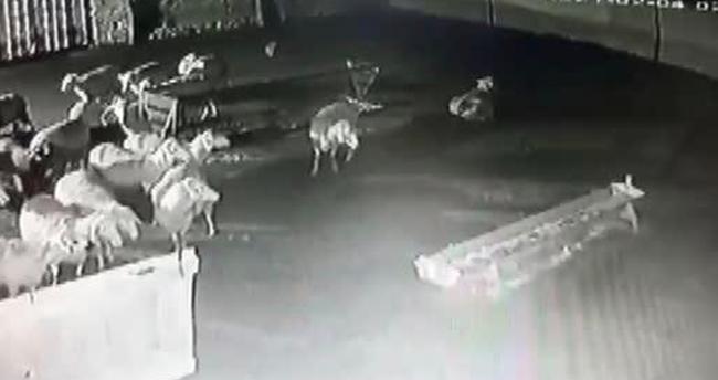 Konya'da aç kalan kurtlar ağıldaki koyunlara saldırdı