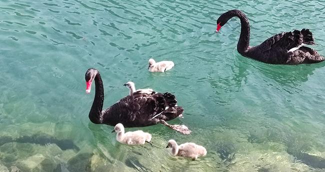 Konya'daki Kuğulu Tabiat Parkı'nın yavru kuğuları ilgi odağı oluyor