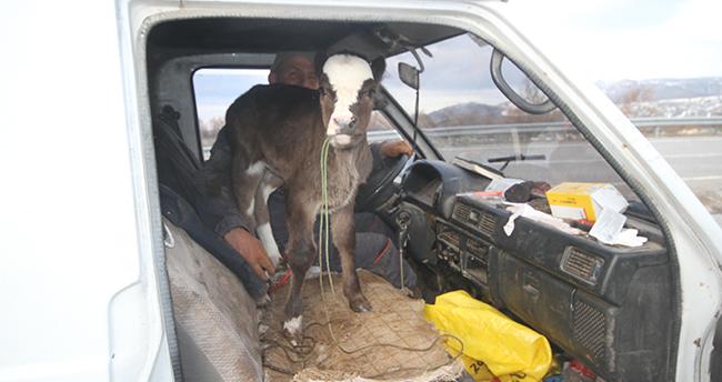 Konya'da 4 günlük buzağının minibüsle yolculuğu gülümsetti