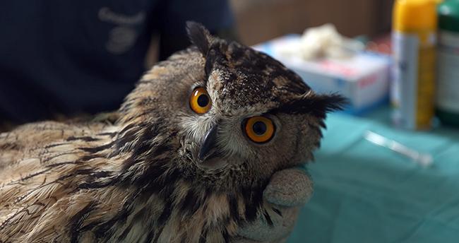 Konya'da avcıların vurduğu, uçma yetisini kaybeden puhu kuşuna özel bakım