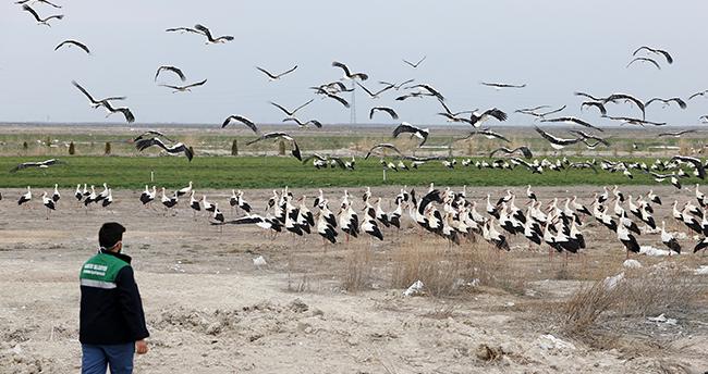Konya'da tarlalardaki göçmen leylekler balıkla besleniyor